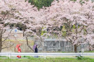 224772_大阪_桜ロケーション(ドレス・和装)