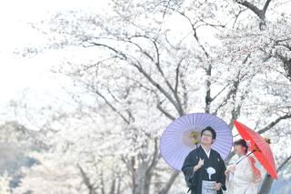 249676_茨城_【もうすぐこの季節】桜ロケーション