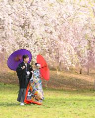24019_新潟_ロケーション・桜