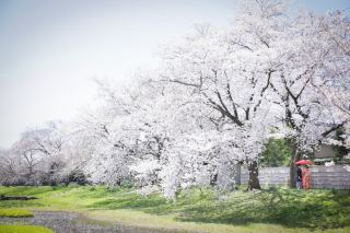 桜ロケーションプラン和2点プラン♪全データ付き♪