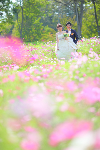 239555_北海道_【コスモス-秋-autumn】淡いピンクで可愛らしく