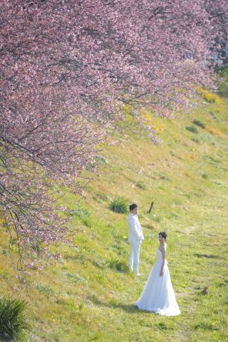 242224_静岡_伊豆の河津桜(2月末~3月初旬)