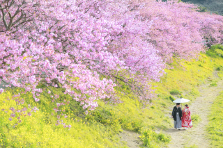 208151_静岡_伊豆の河津桜(2月末~3月初旬)