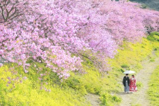 245152_静岡_伊豆の河津桜(2月末~3月初旬)