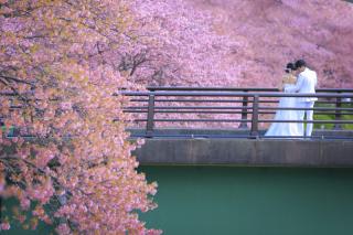 242231_静岡_伊豆の河津桜(2月末~3月初旬)