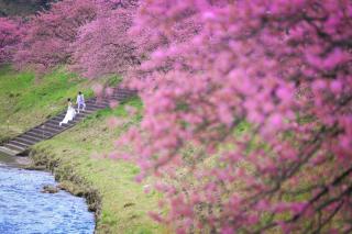242229_静岡_伊豆の河津桜(2月末~3月初旬)