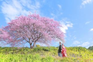 293159_静岡_伊豆の河津桜(2月末~3月初旬)