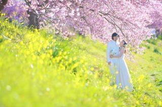 245151_静岡_伊豆の河津桜(2月末~3月初旬)