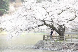 181431_長野_和装×桜